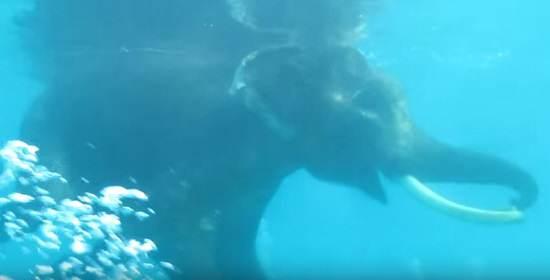 Hobi Gajah Yang Suka Menyelam Ini Sungguh Mengagumkan Simak