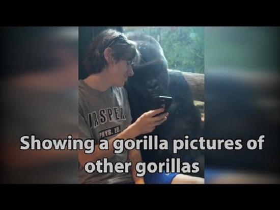 showing-gorilla-of-other-gorilla-pic.jpg